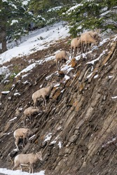 A group of young Bighorn Sheep foraging on the snowy rocky mountain hillside. Banff National Park in October, Mount Norquay, Canadian Rockies, Canada.