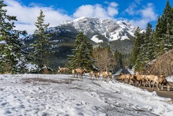 A group of young Bighorn Sheeps (ewe and lamb) foraging on the snowy mountain road. Banff National Park in October, Mount Norquay Scenic Drive. Canadian Rockies, Canada.