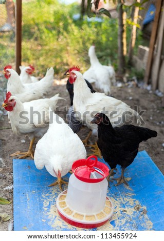A group of young chicken feeding, in a very hot day