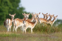 A group of young fallow deer in the springtime