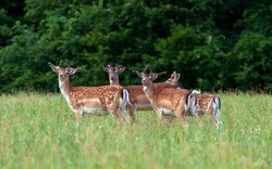 A group of young fallow deer in the wild.