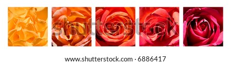A grouping of five rose close-up images arranged by color.