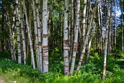A grove of Aspen trees in the Jackson Kimball State Park day use area near the Wood River in Oregon.