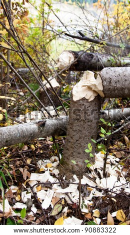 A grove of birch trees that have been freshly chewed through and fallen by a beaver.
