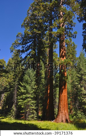 A Grove of Giant Sequoia in Yosemite national Park.