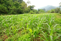 A growing green corn field Despite the huge weed covering Corn cultivation in forestry areas during the economic downturn. Agriculture that uses less water.