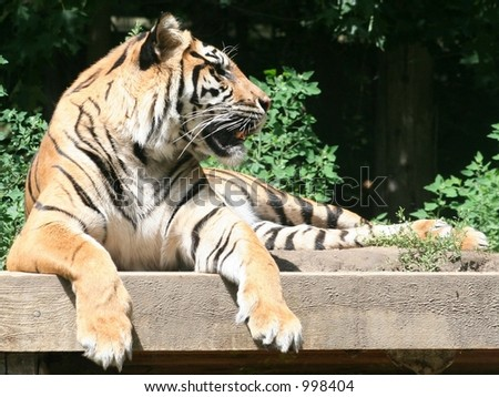 A growling tiger