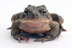 A grumpy American Toad (Anaxyrus americanus ) looks at the camera while frowning from a white background.