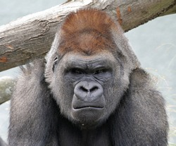 A grumpy gorilla