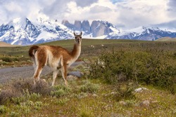 A guanaco eating with the views of Torres del Paine National Park in Chile in the background