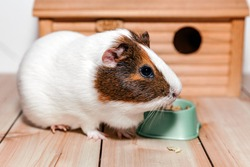 A guinea pig eats food from a bowl near a wooden house