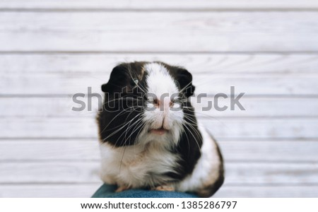 A guinea pig with a large mustache and a funny snout close-up is sitting on its owner's legs. Favorite pet and fat animal. Poster, lifestyle, photography, piggy, shopping.