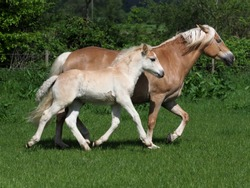 A Haflinger mare and foal run through a summer paddock.