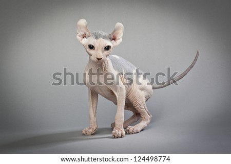 A hairless cat standing on a white background