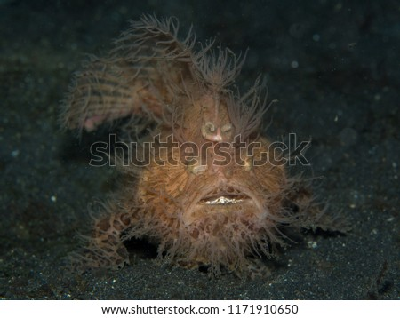 A hairy frogfish on the sandy sea floor at night