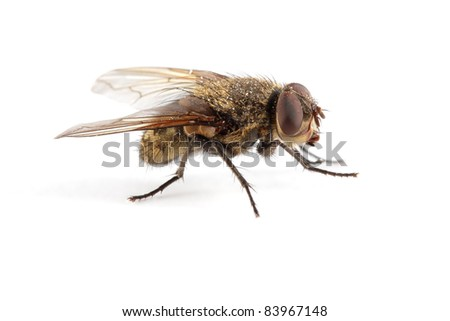 A hairy house fly on white