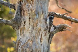 A hairy woodpecker perched on an old rotten tree pecking for insects and bugs.The wild bird is black and white with a little red on its head. The feathers are short and soft. The background is orange.