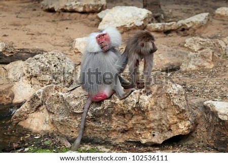 A hamadryas baboon sitting on a rock with baby