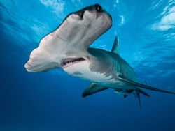 A hammerhead shark making a close pass underwater in The Bahamas