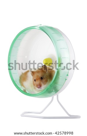 A hamster exercising in an exercise wheel