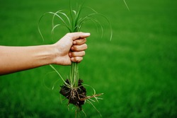 A hand holding a clump of fresh grass above a rice paddy. Farmer hands pulling grass with root and soil up from ground, Plucking weeds.
