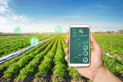 A hand is holding a smartphone with infographics on the background of a potato plantation field. Increased efficiency and high yield. innovative technologies for analyzing data on crop status
