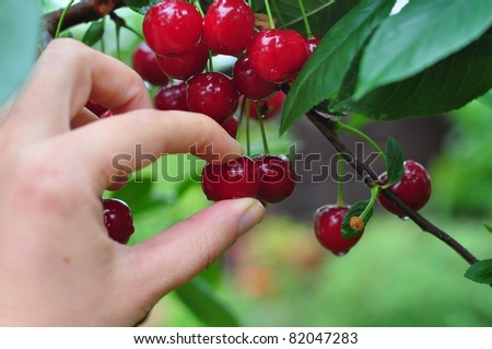 a hand picking cherry from tree