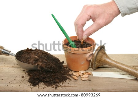 A hand planting runner bean seeds in a pot on a potting bench with garden tools