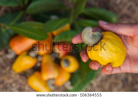 A hand with cashew apple - stock photo