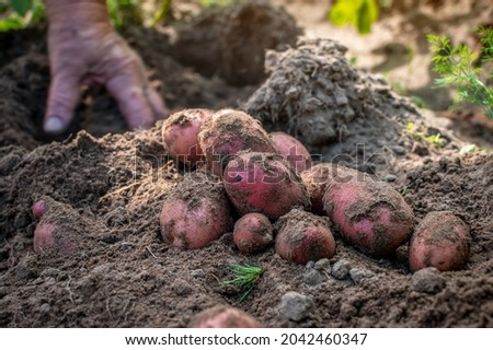 A handful of freshly dug red potatoes lie on the ground. The hands digs up the tubers of potatoes Picking potatoes. Hands of employee senior woman blur in motion. Selective focus Stock fotó ©