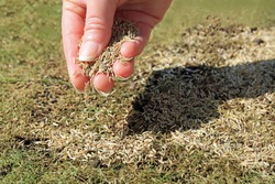 A Handful Of Grass Seeds Being Spread Over A Patchy Lawn.