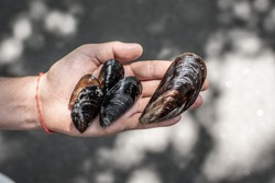A handful of mussels in their hands, dirty mussels, fresh mussels, sea mussels.