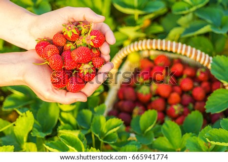 A handful of ripe strawberries in female hands #665941774