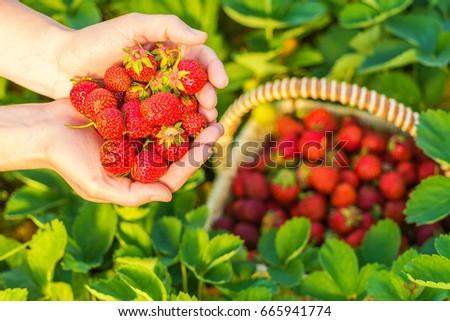 A handful of ripe strawberries in female hands #665941774
