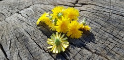 A handful of yellow flowers (Crepis tectorum) on an old cracked wood stump, sunny morning (angle).
