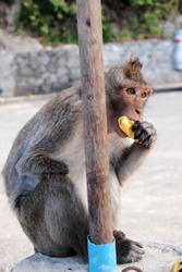A handicap monkey eating a banana with one hand behind a wood pole