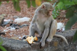 A Handicapped Monkey Eating Food