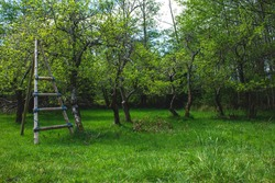 A handmade wooden ladder stands beside a few old apple trees in an orchard in Northern Gulf Islands, British Columbia, Canada.