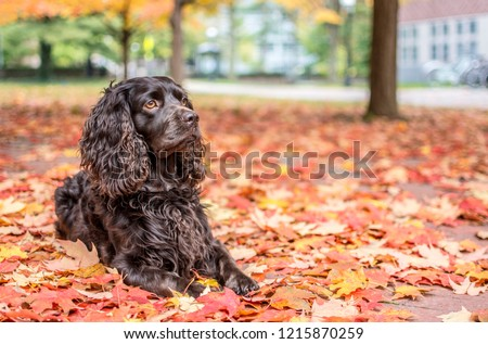 A handsome dog portrait outside in the woods with colorful autumn background. Boykin Spaniel.