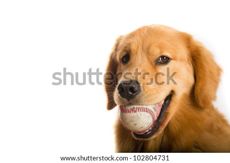 A handsome young Golden Retriever dog ready to play baseball.  He is holding the ball in his mouth.