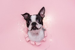 A happy and funny dog's face looks out through a hole in the pink paper with a garland on top. Creative. The concept of new year and Christmas.