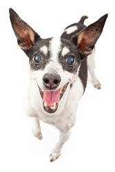 A happy and smiling eight year old Rat Terrier dog isolated on white