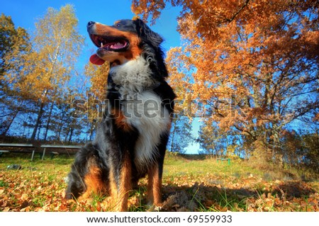 A happy Bernese mountain dog sitting outdoors on grass during a sunny, fall day