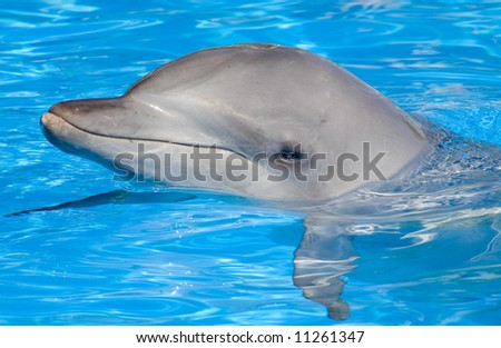 A happy Bottlenose Dolphin posing with its head above water