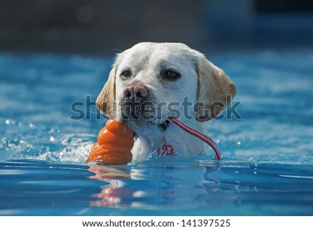 A happy dog clutches a toy as it swims; it has succeeded in chasing its prized toy in a canine aquatics competition