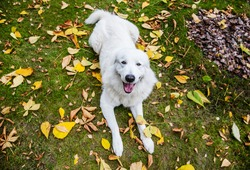 a happy dog lies in the fallen leaves.Maremma in autumn leaves.The white dog executes the lie down command.Maremma in autumn in the Park