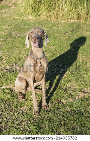 A happy dog panting, sitting on the grass in a park, purebred hunting female Weimaraner, also known as silvery-gray, gray ghost or silver ghost.