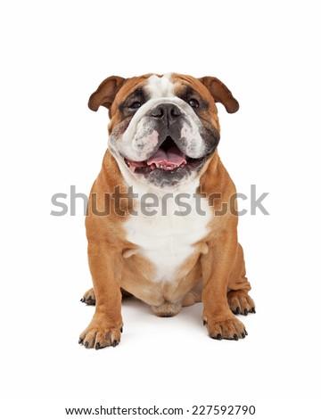 A happy English Bulldog sitting while looking forward. Stock photo ©
