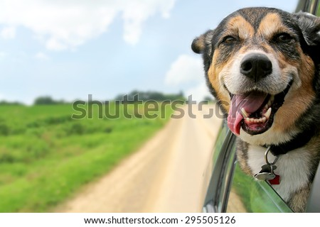 Shutterstock A happy German Shepherd Mix breed dog is hanging is tongue out of his mouth with his ears blowing in the wind as he sticks his head out a moving and driving car window.