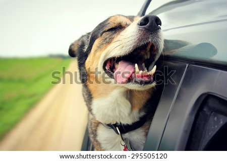 A happy German Shepherd mix breed dog is smiling with his tongue hanging out and his eyes closed as he sticks his head out the family car window while driving down the road.